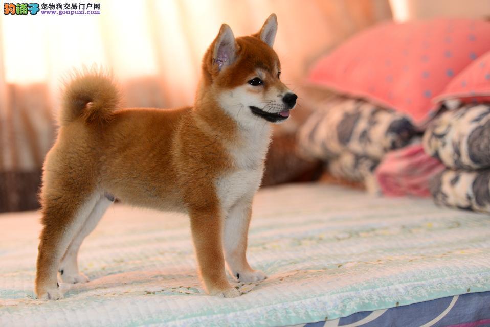 纯种的日本秋田柴犬宝宝出售 包健康 驱好了虫