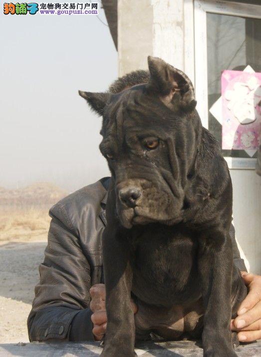 出售国外引进纯种血统卡斯罗犬