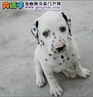 专业繁殖纯种健康精品大头斑点狗宝宝