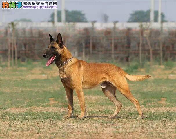 出售纯种猎犬马犬幼犬,低价出售