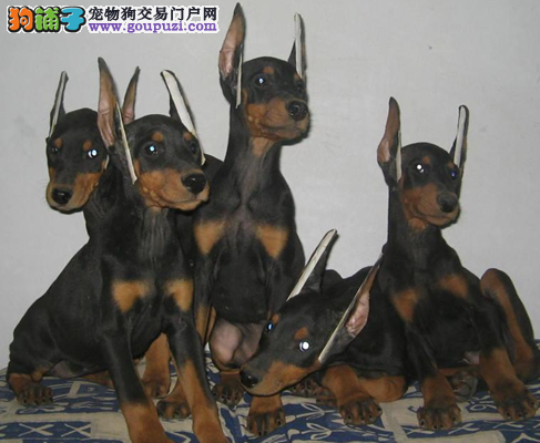 杜宾犬幼犬出售 正规专业犬舍专业繁殖杜宾幼犬