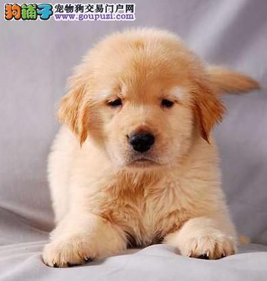 犬舍出售纯种金毛幼犬,公母都有,可上门挑选