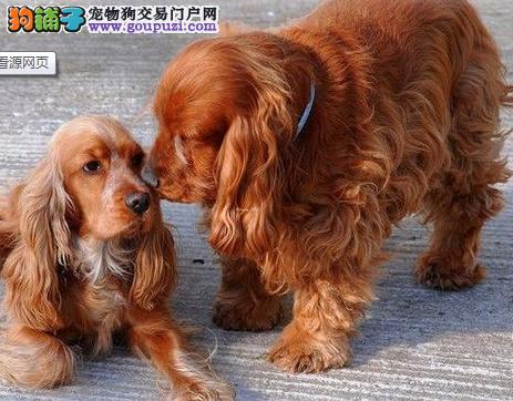 专业基地繁殖可卡犬 公母均有 包健康协议