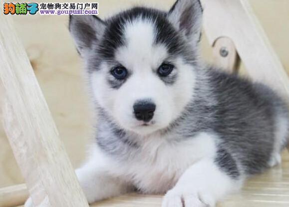 双蓝眼,黑白色纯种哈士奇,威武可爱,包健康