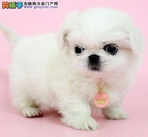 小精灵家族出售纯种本市犬、幼犬 可做血统证书