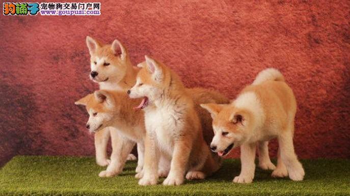 纯种日系秋田宝宝一窝,对主人忠诚可靠的世界名犬