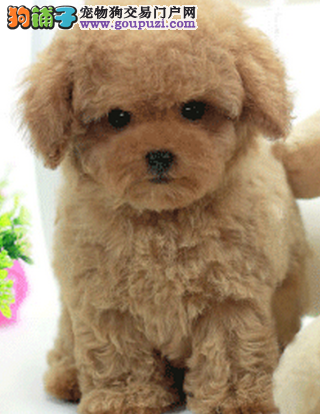 CHU注册的泰迪犬,各个体型 各种毛色 欢迎上门
