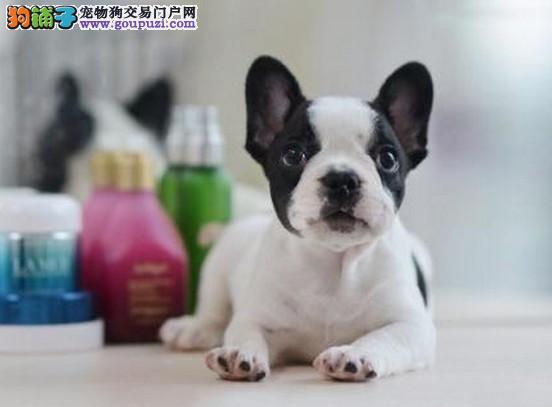 上海唯一一家专业繁殖法斗幼犬 来家可看狗父母 包纯