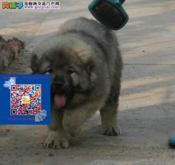 俄系大骨架高加索幼犬出售 纯种健康包售后