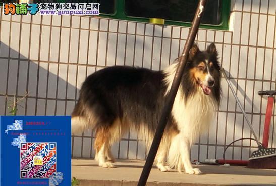 上海出售苏牧高品质纯种健康包养活签协议