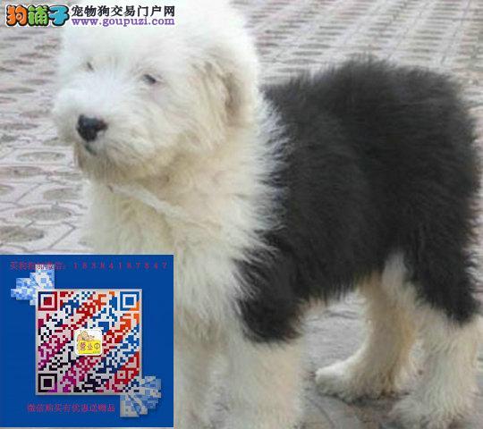 纯种健康古牧幼犬出售 质保一年 公母都有