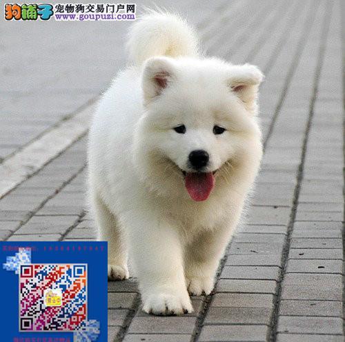 上海本地出售萨摩耶哪卖萨摩耶多少钱保证纯正健康