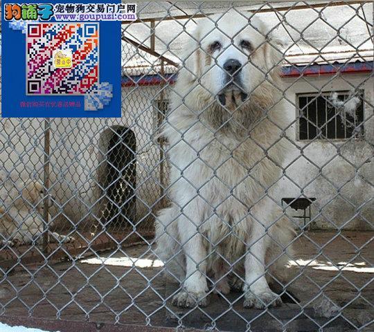 大白熊出售哪卖大白熊犬哪里出售大白熊保证健康纯种