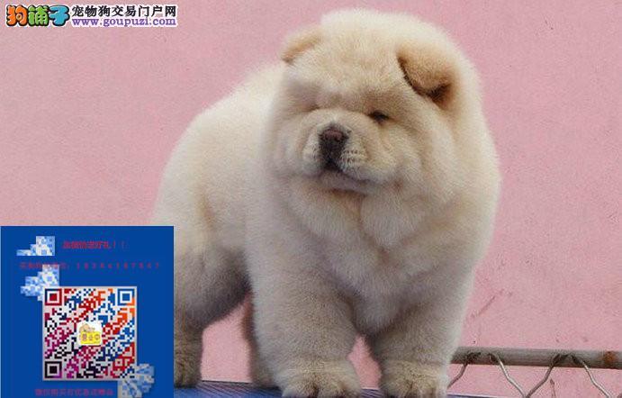 上海出售肉嘴松狮包纯种健康毛亮丰厚