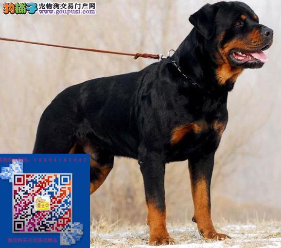 正规犬舍繁殖 赛级品质 罗威纳赠户口 包活 签协议