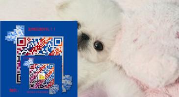纯种京巴犬、保证纯种健康 终身质保、免费送货上门