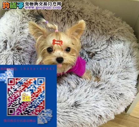 上海本地约克夏出售上海哪卖约克夏保证健康纯正