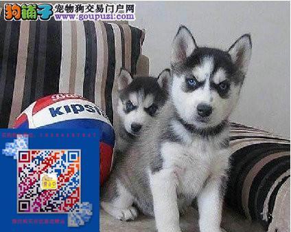 上海本地哈士奇犬出售上海哪卖哈士奇上海哈士奇多少钱
