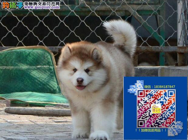 阿拉斯加犬出售上海哪卖阿拉斯加上海阿拉斯加出售