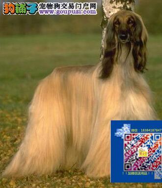 上海阿富汗犬出售哪卖纯正的阿富汗犬保证健康包养活
