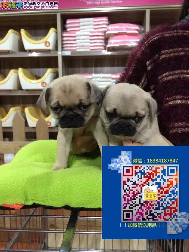 哪卖巴哥犬保证健康纯正出售上海巴哥犬多少钱