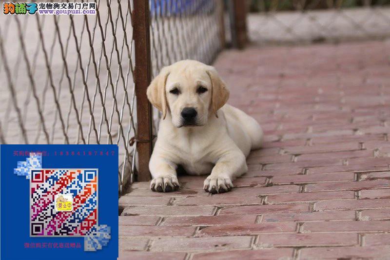 狗场直销拉布拉多 各种世界名犬 包养活 包健康签协