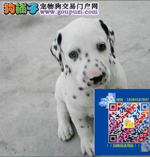 斑点狗出售哪卖大麦町多少钱纯正斑点狗价格优惠出售