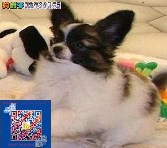 纯正蝴蝶犬出售哪卖蝴蝶犬保证健康纯正签协议包养活