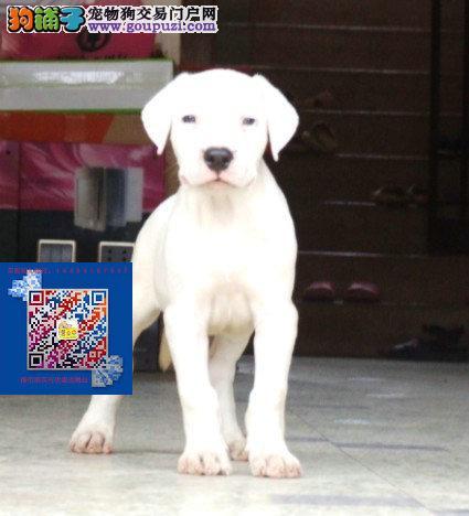 纯种健康杜高幼犬出售 质保一年 公母都有
