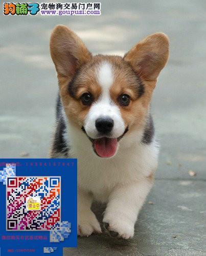 哪卖纯正的柯基犬纯种小短腿威尔士柯基幼犬三黄白色