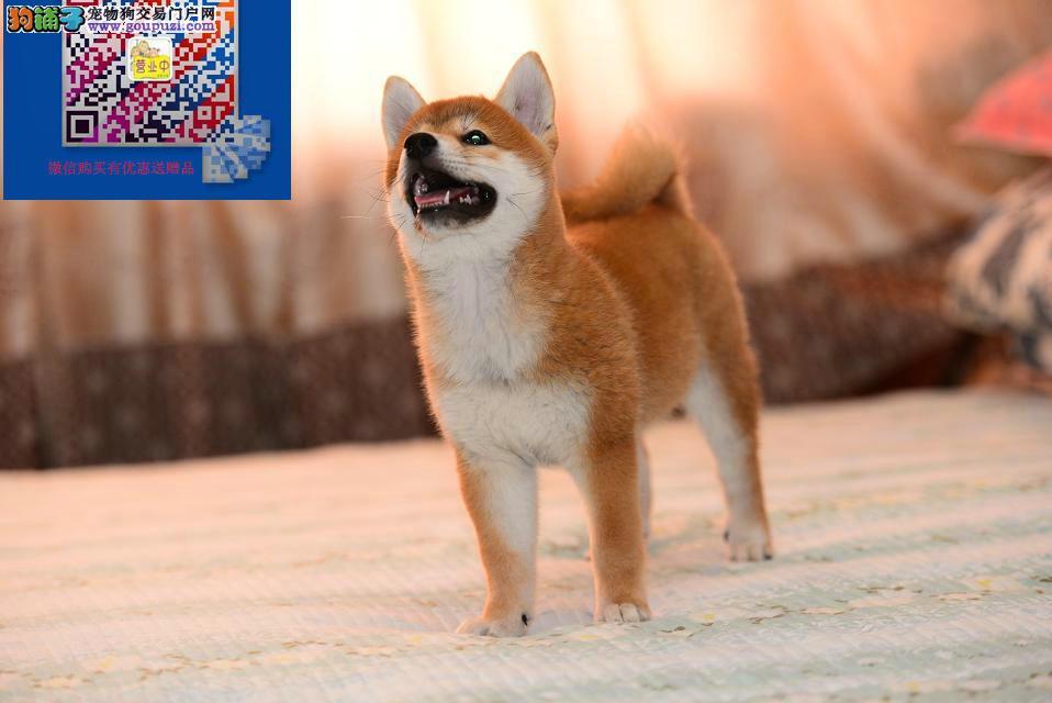 哪卖纯正的柴犬纯正的柴犬多少钱保证健康签协议包