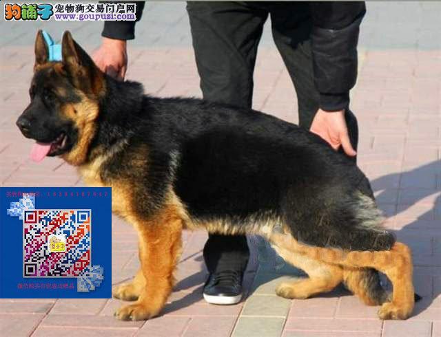 弓背黑背 专业繁殖基地出售纯种赛级犬德国牧羊犬幼犬