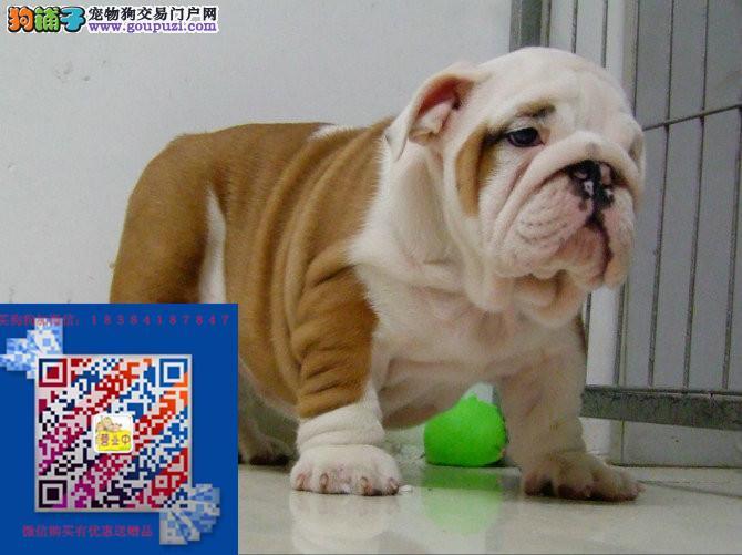 上海英国斗牛犬出售上海哪卖英国斗牛犬保证纯正健康