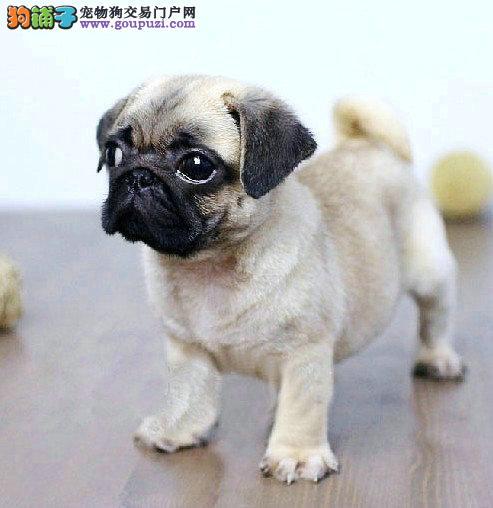巴哥犬 纯种健康 保障上门挑选签协议质保