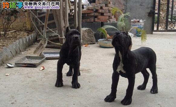犬场直售卡斯罗幼犬 健康纯正