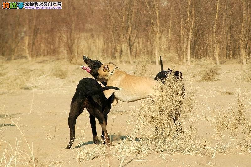 速度快格力犬灵缇犬惠比特犬细狗二特犬猎兔犬速度快