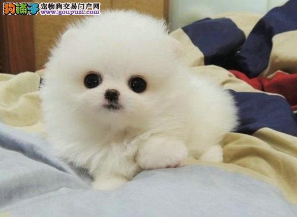 哈多利球体博美 有黄色 白色 红色博美幼犬