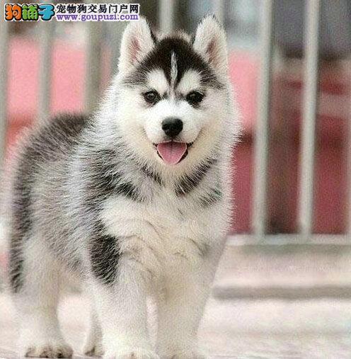 出售哈士奇幼犬 超酷 三火蓝眼 健康品质保证 店面