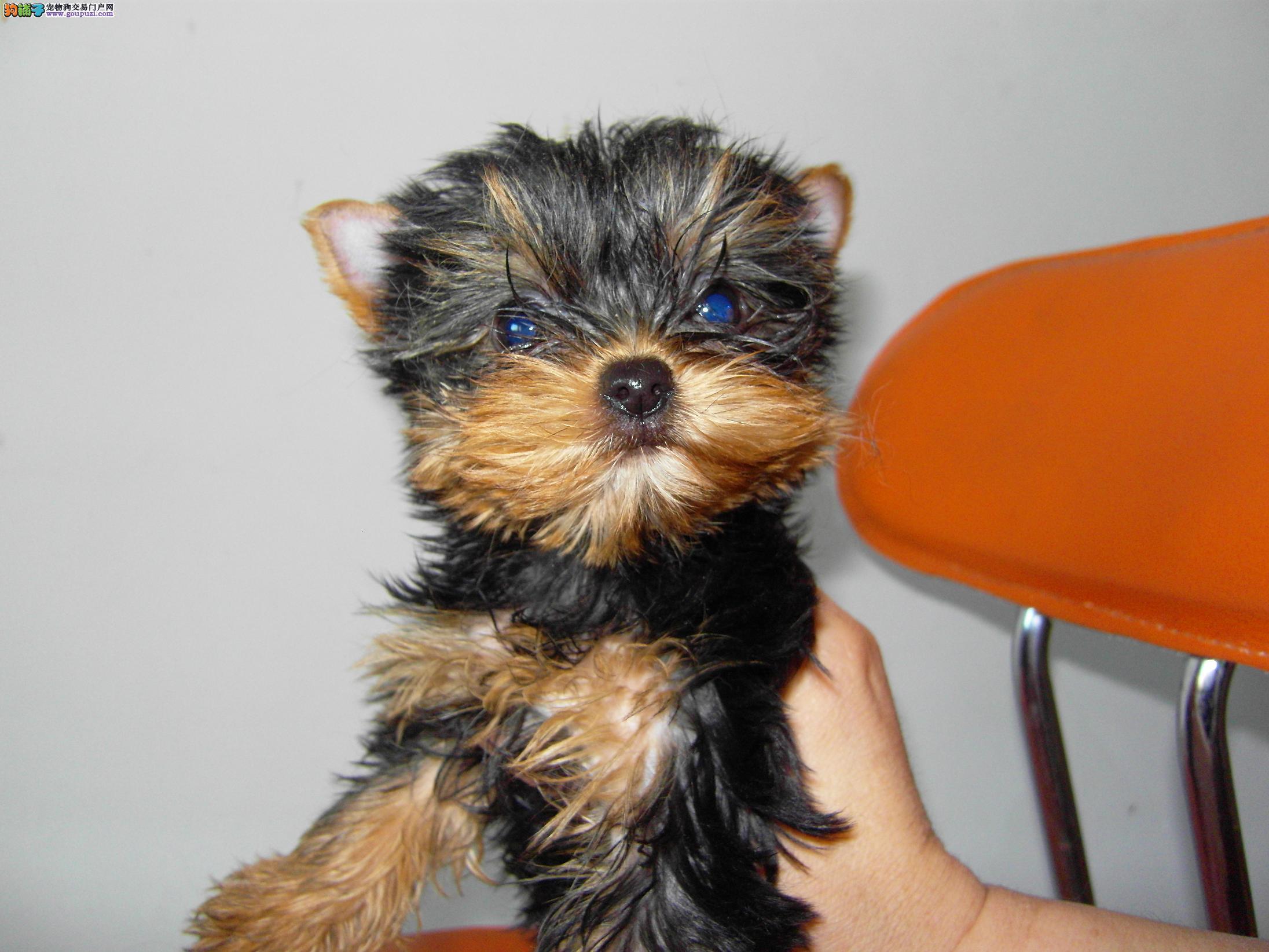 纯种可爱的约克夏幼犬宝宝出售 品质可靠