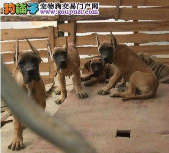 大丹幼犬2 4个月多只可以选择 欢迎上门选购