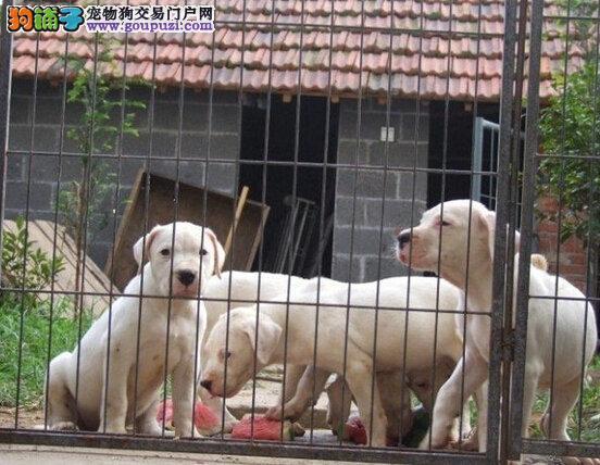 专业繁殖杜高犬 犬舍常年出售杜高幼犬