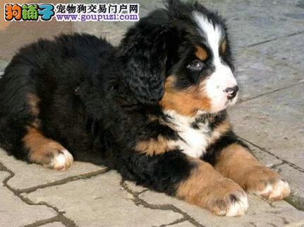 纯种伯恩山 幼犬三个月 百分百纯种 品相论价