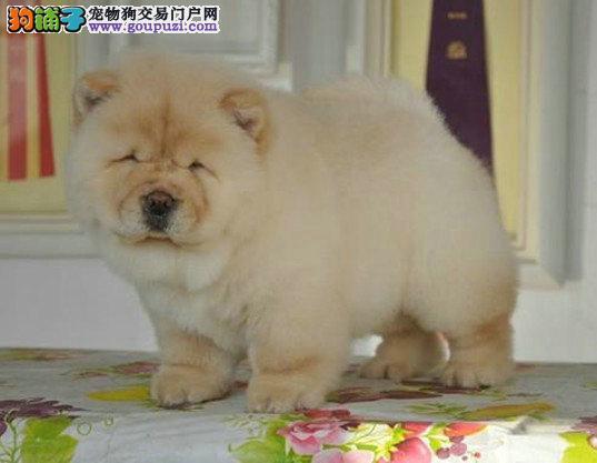 纯种松狮宝宝,健康可爱,质量有保证, 美系松狮