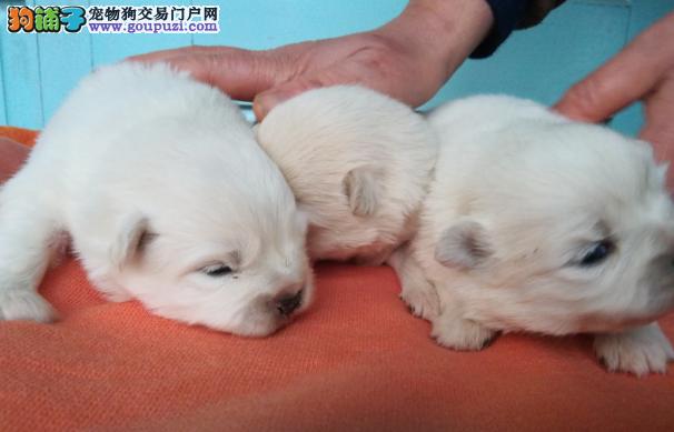 自家养殖博美犬幼犬出售