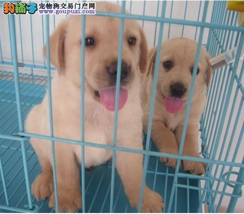 十年老店信誉 纯种拉布拉多犬 百分之百保健康 签协议