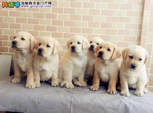 狗场直销 送货上门:拉多犬、泰迪、柴犬、柯基、金毛