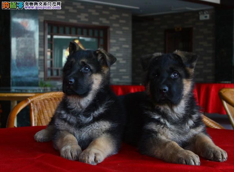 狗场直销 送货上门:狼狗、马犬、斑点狗、伯恩山
