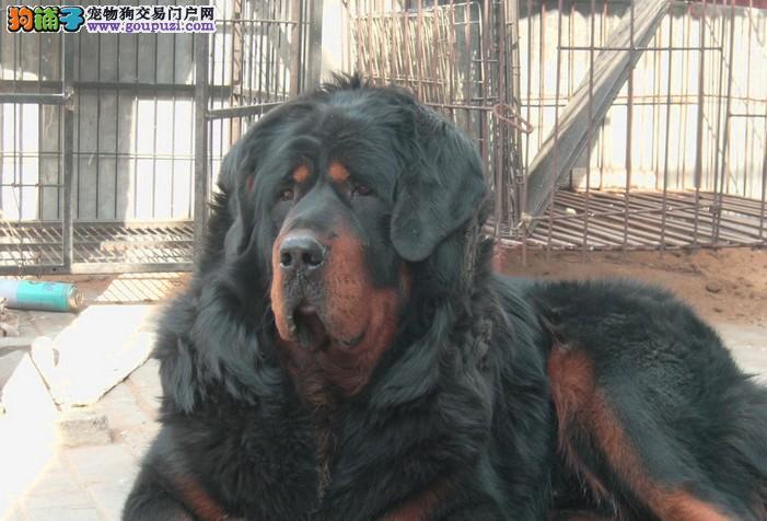 狗场直销 送货上门:藏獒、柴犬、贵宾犬、巴哥、金毛