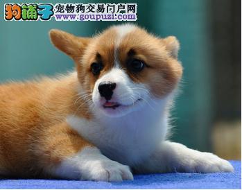 24小时微信服务热线:15999923495 柯基犬出售