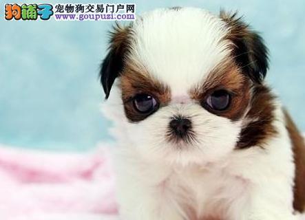 24小时微信服务热线:15999923495 西施犬出售